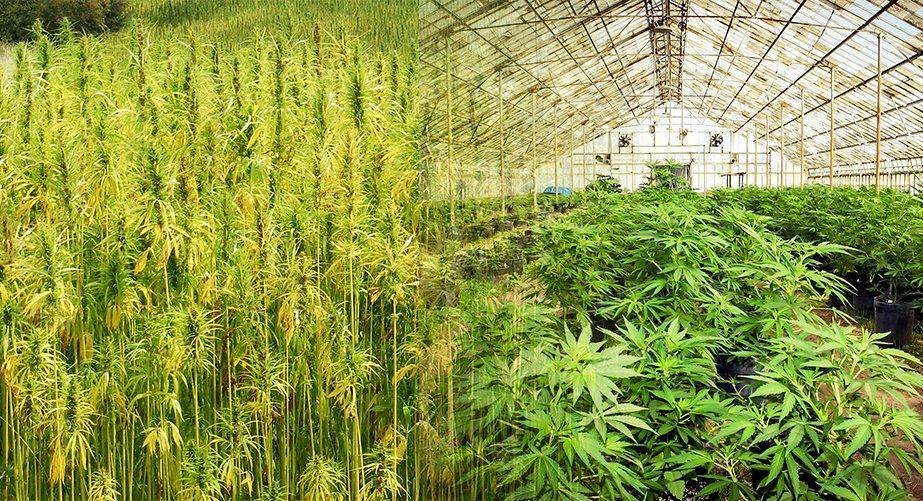 is hemp weed, hemp vs marijuana, hemp oil, cbd oil, my hemp wellness